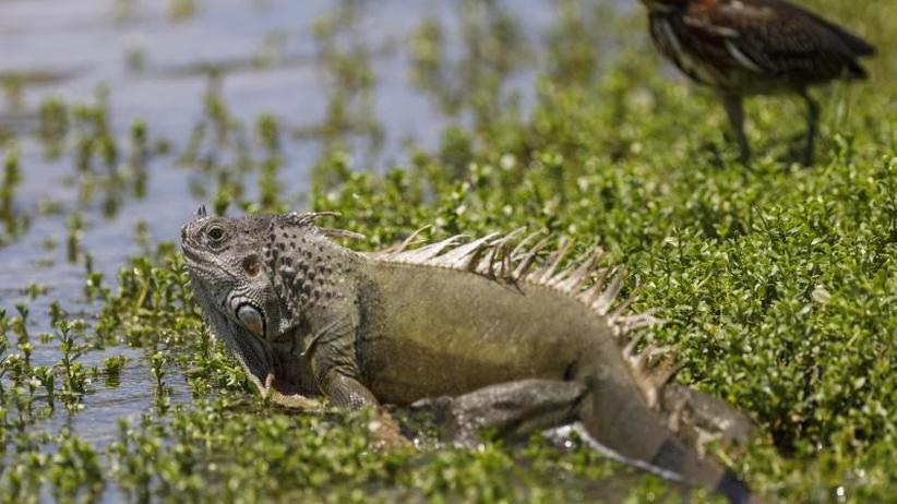 Echsenregen: Wetter in Florida: Kalt mit Aussicht auf abstürzende Leguane