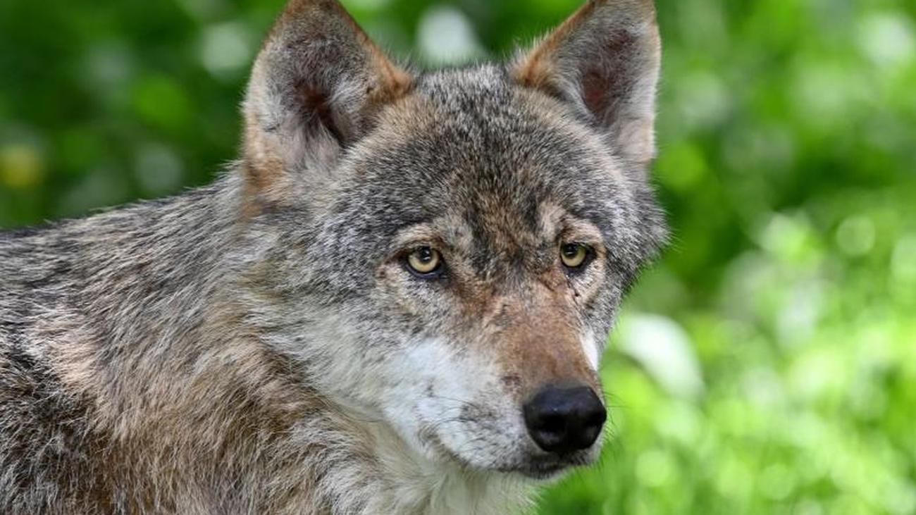 Wolf in der Oberlausitz angefahren und tödlich verletzt