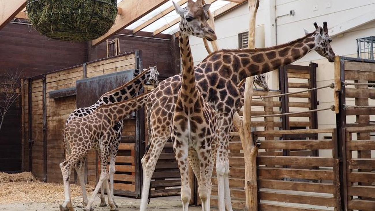 Giraffenzuwachs: Zoo will wieder in Zucht einsteigen