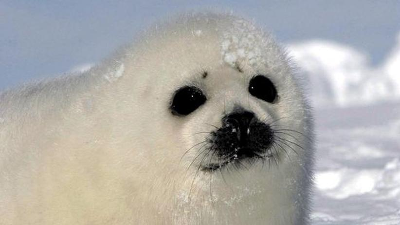 Tierschutz: Robbenfelle dürfen trotz Embargos weiter verkauft werden