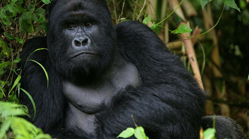 Serie Political Animals: Der große Ausverkauf des Virunga-Nationalparks