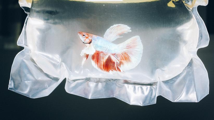Fünf und der Fisch: Ein Fisch vor die Wahl gestellt