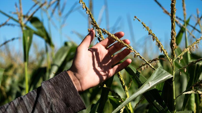 Glyphosat: Maispflanze von Monsanto im Testanbau