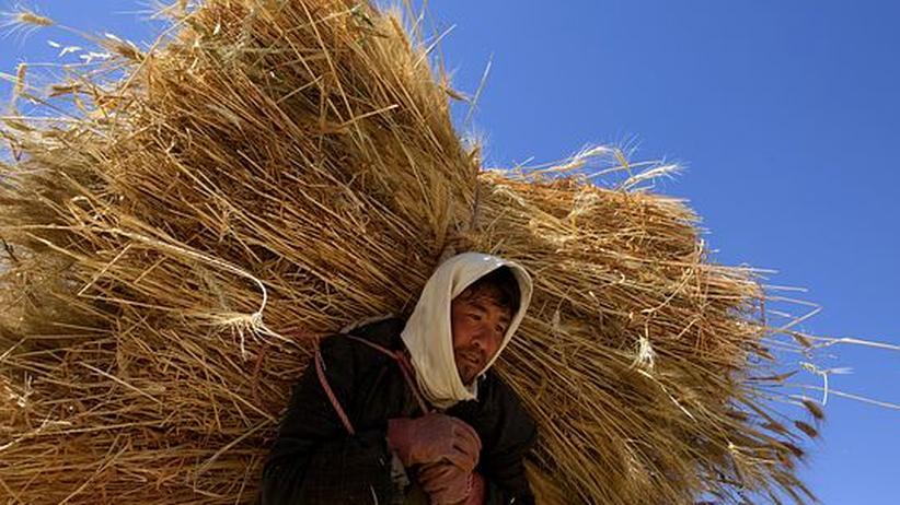 Weizenernte in Afghanistan