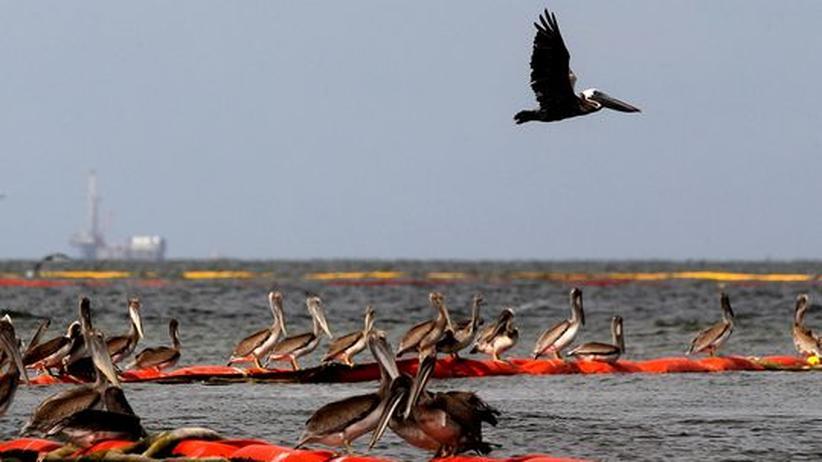 Pelikane sitzen in der Nähe von Grand Isle im US-Bundesstaat Louisiana auf Ölsperren
