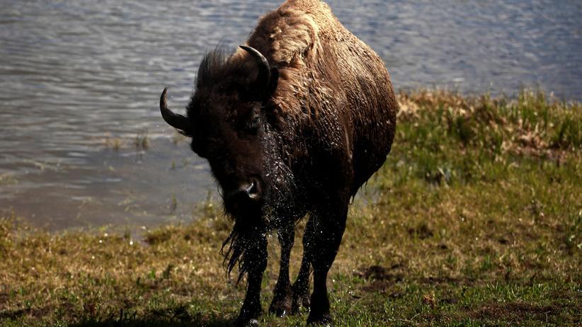 Politische Tiere: Die Rückkehr der Bisons