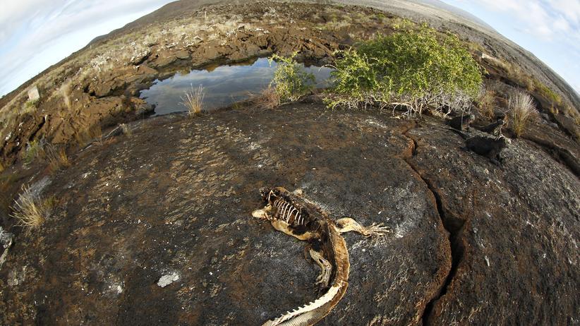 Havarie:  Punta Albemarle auf den Galápagos-Inseln