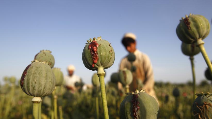 BND-Analyse: Anbau von Mohn in Afghanistan