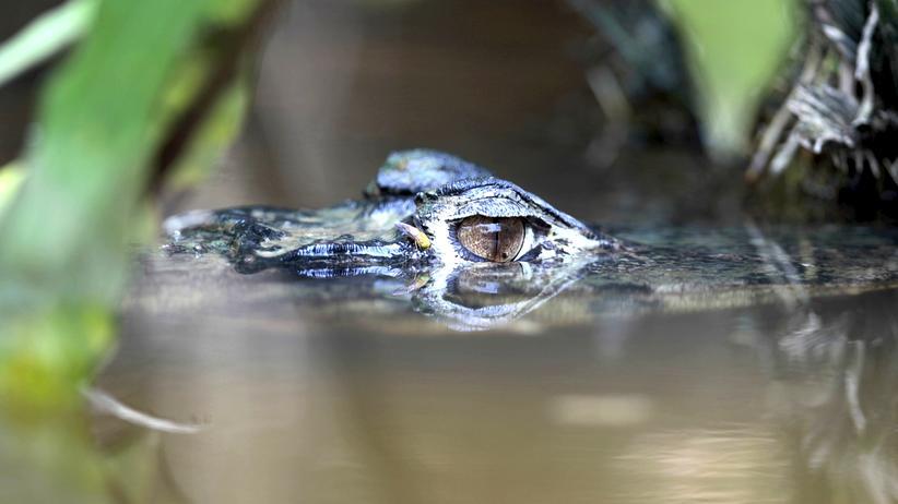 Yasuní: Ein Kaiman im Yasuní-Nationalpark – Die Ölförderung gefährdet den Lebensraum des Tieres.