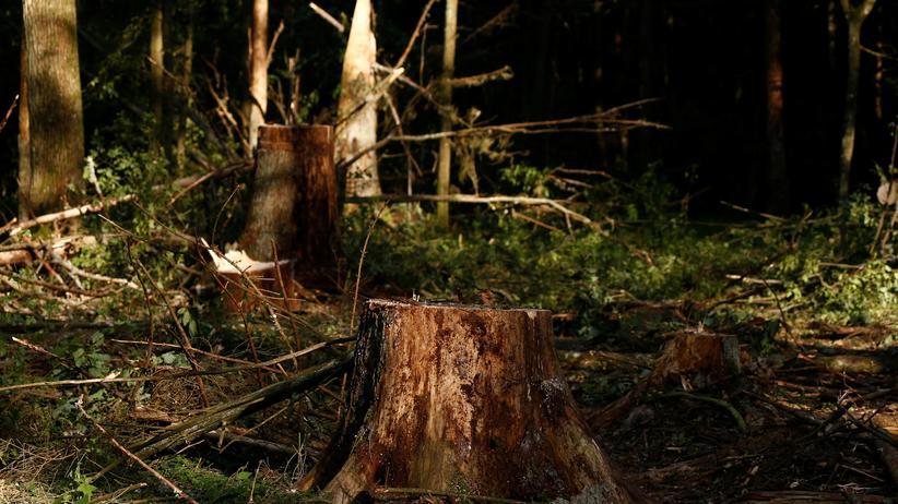Białowieża-Nationalpark: Ein abgeholzter Baum im geschützten Urwald Białowieża