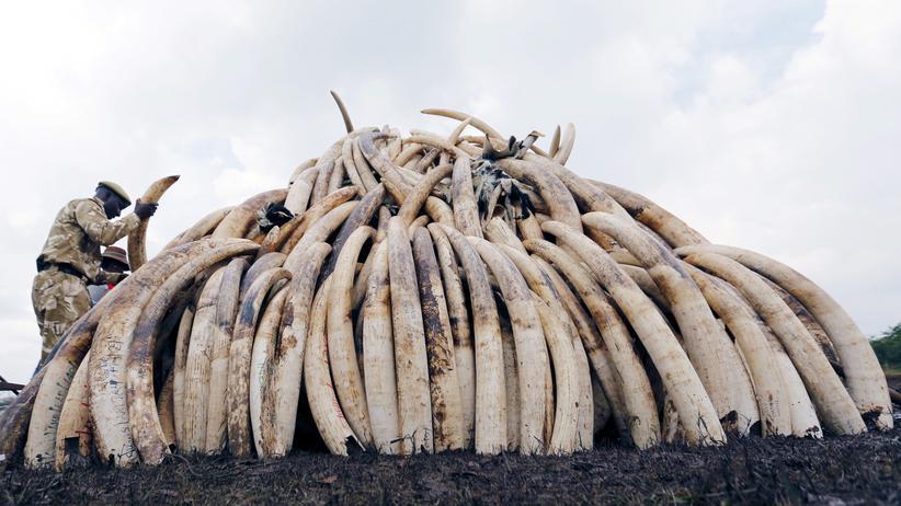 Artenschutz: Ein Ranger stapelt konfiszierte Stoßzähne von Elefanten in einem Nationalpark.