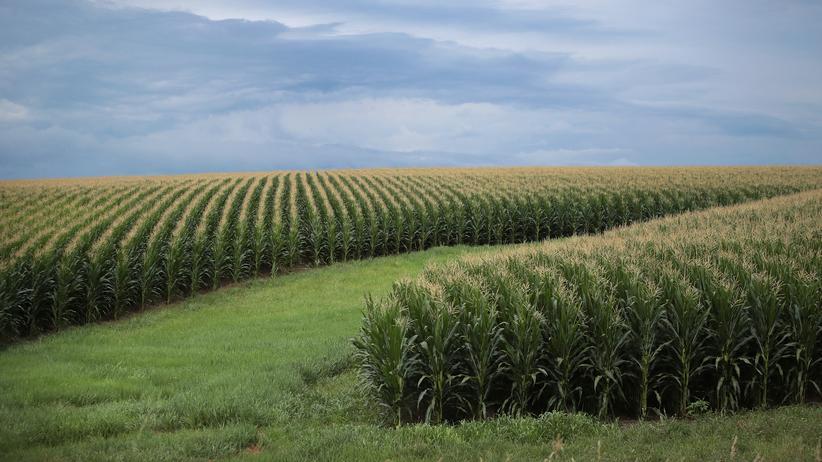 Handelsstreit: Ein Maisfeld in Tipton im US-Bundesstaat Iowa