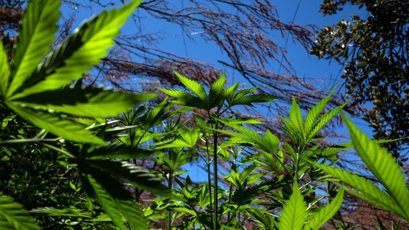 Drogen: Mexiko will Marihuana legalisieren