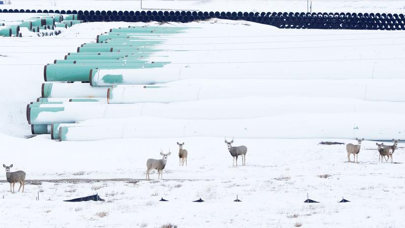 Ölpipeline: Wild versammelt sich an einem Platz, an dem Röhren für Keystone XL gelagert werden. Aufgenommen in North Dakot im Januar 2017.