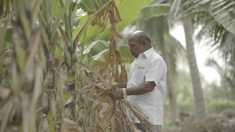 Indien: Das Salzwasser zerstört die Bananenplantage eines Bauern in Tamil Nadu.