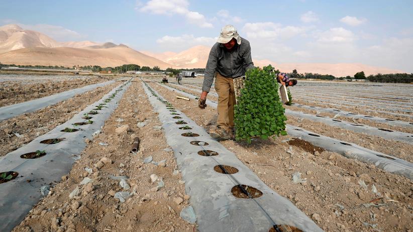 Westjordanland: Palästinenser bei der Feldarbeit im Jordantal