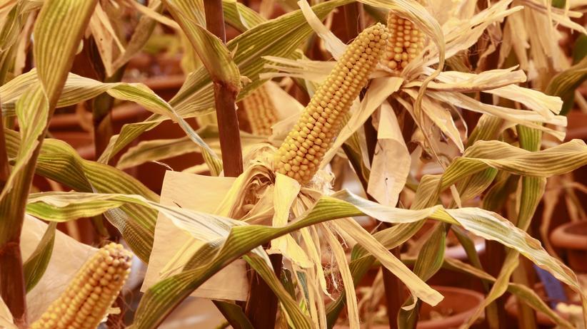Gentechnik: Grüne wollen mit Crispr veränderte Pflanzen kennzeichnen