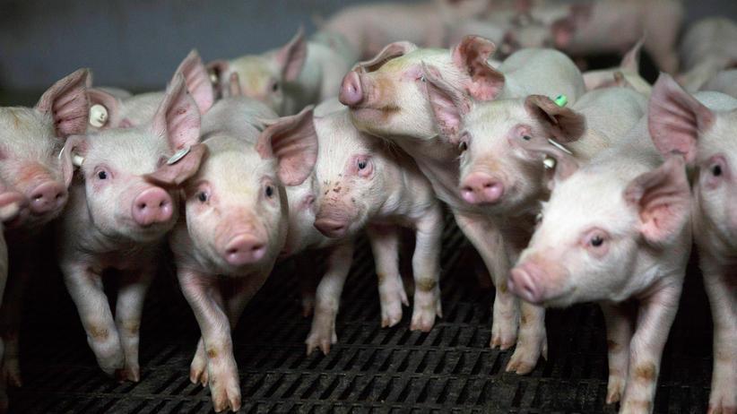 Tierschutz: Die Grünen wollen gegen die industrielle Massentierhaltung vorgehen.