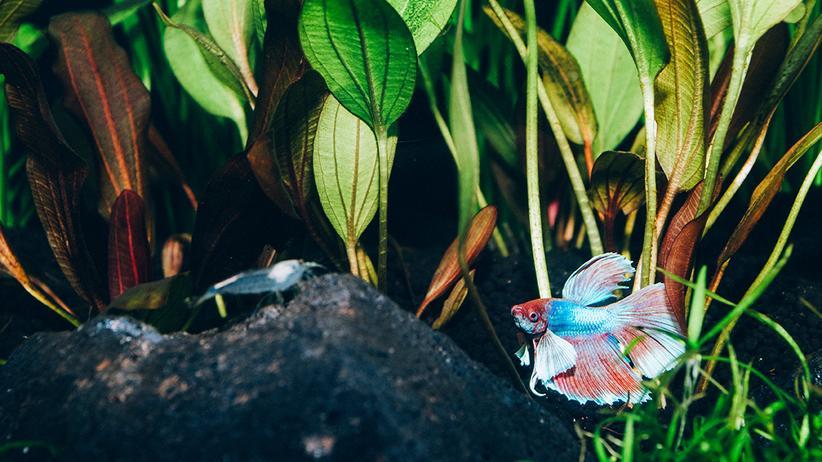 Wahlprognose: Hat seine Prognose fertig: der Siamesische Kampffisch in seinem Becken im Berliner Newsroom von ZEIT ONLINE