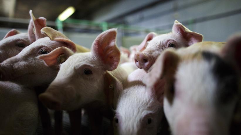 Massentierhaltung: In Deutschland werden Ferkel wenige Tage nach der Geburt ohne Betäubung kastriert, um zu vermeiden, dass Fleisch von Ebern einen strengen Geruch und Beigeschmack bekommt.
