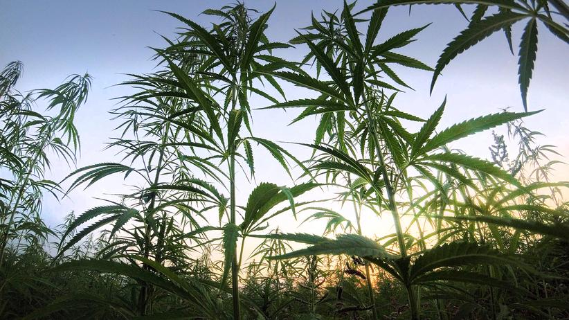 Medizinisches Marihuana: Behörde erlaubt Anbau von mehr als sieben Tonnen Cannabis