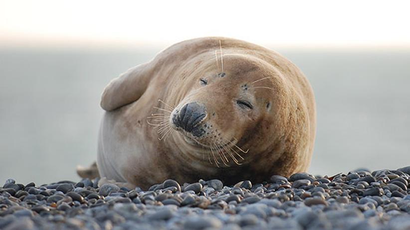Nordsee: Kalte Kinderstube für Robbenbabys