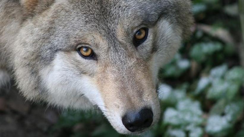 Zuhause in Niedersachsen: Der Wolf