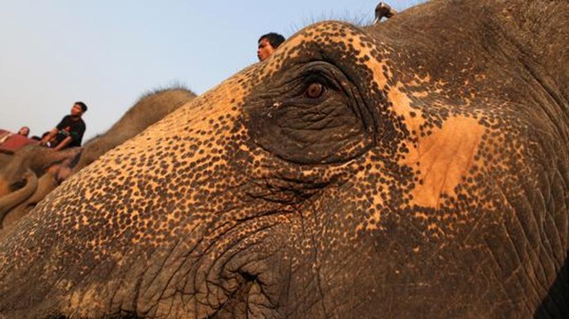 Thailändische Mahouts sitzen auf ihren Elefanten