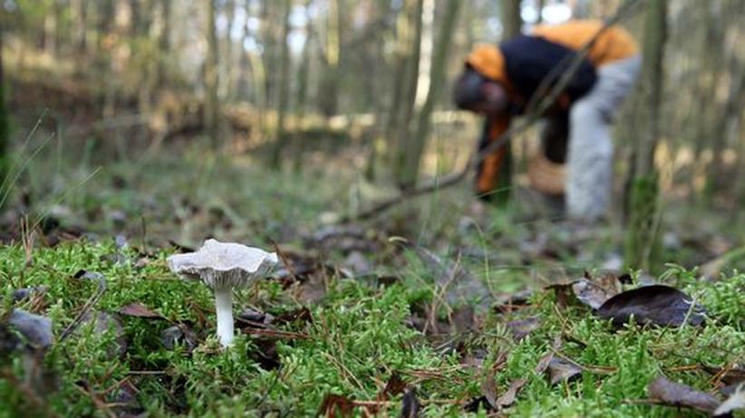 Pilze: Bückware im Pilzkiez: Selbst in einer Großstadt wie Berlin wachsen Pilze zu jeder Jahreszeit.