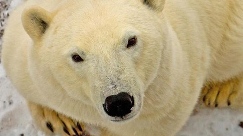 Kanada: Unterwegs mit der Eisbärenpolizei