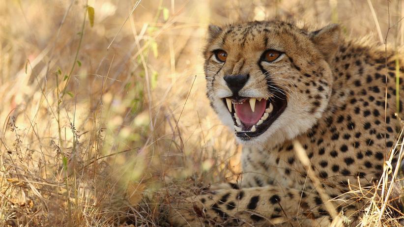 Südafrika: Geparden zu Natur-Botschaftern