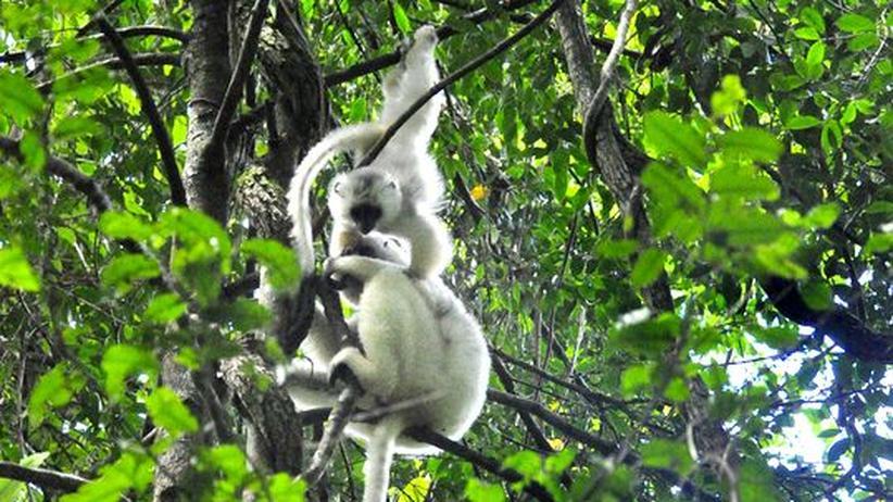 Madagaskar: Die bedrohten Engel von Marojejy
