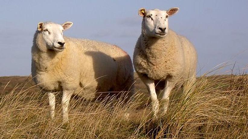 Niederlande: Urlaub  unter  Schafen