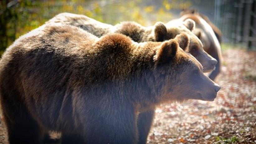 Rumänien: Ein Wald, in dem Bären genesen