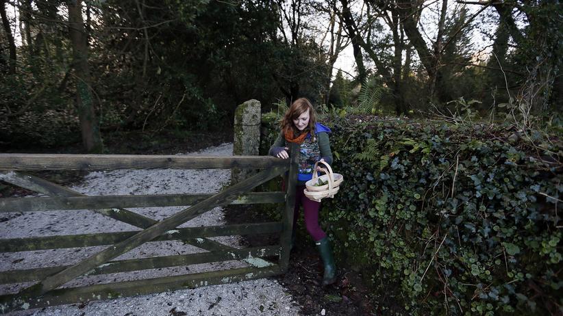 Englischer Tee: Teepflücken auf dem Landgut Tregothnan in Cornwall