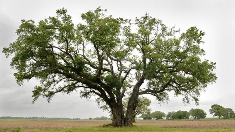 Louisiana: Eiche auf einem Zuckerrohrfeld