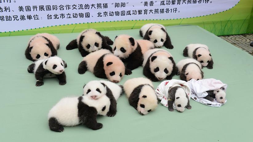 Panda: Im Bärendienst