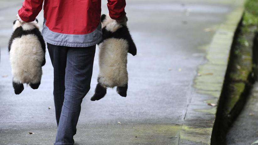 Panda: Größenordnung Pfleger-Bär, Bifengxia 2010
