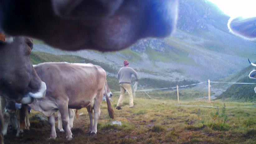 Fotografierende Kühe: Sofies Welt