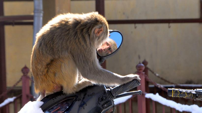 Indien: Die Affen rasen durch die Stadt