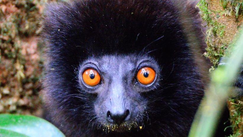 Madagaskar: Lemur