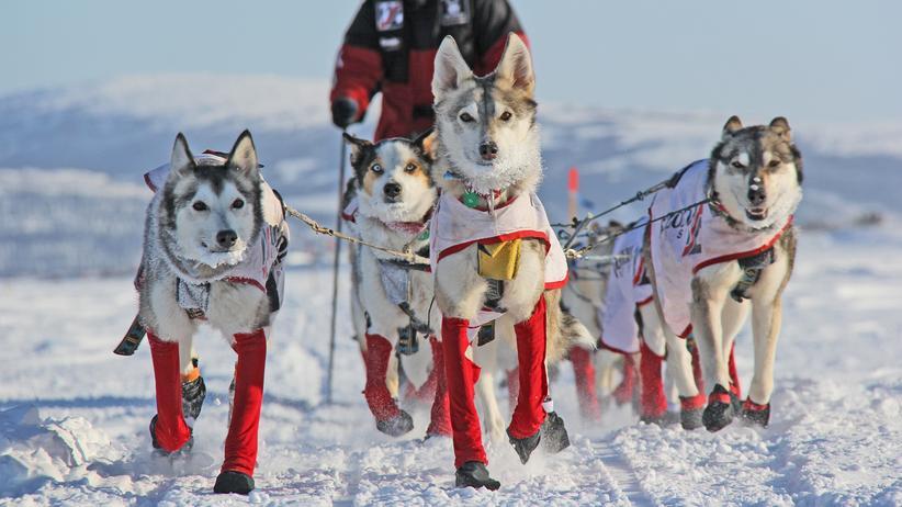 Iditarod: Eine Teilnehmerin des schwersten Hundeschlittenrennens der Welt in Alaska.