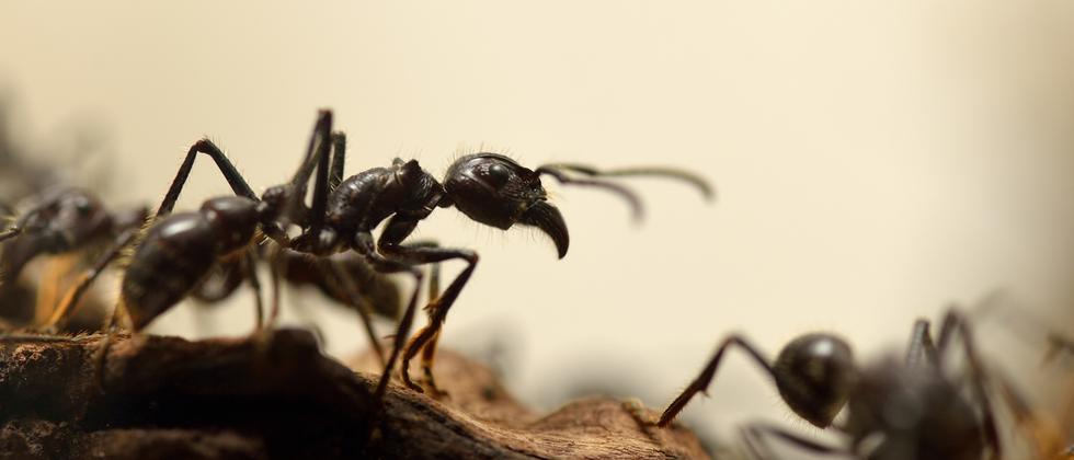 Insekten: Ameisen, mit Backpulver bekämpfen bis sie platzen