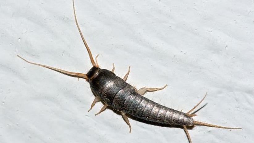 insekten silberfischchen lieben feuchte badezimmer zeit online. Black Bedroom Furniture Sets. Home Design Ideas