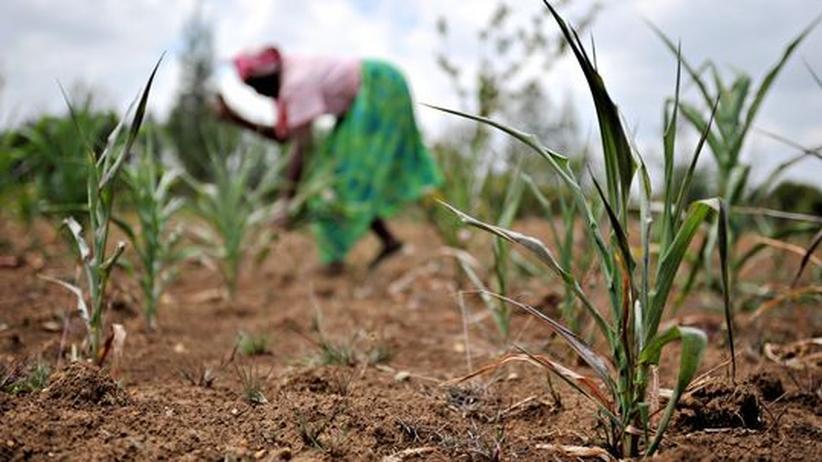 Eine kenianische Bäuerin gräbt verdorrte Maispflanzen aus dem Boden, um sie an ihre Tiere zu verfüttern