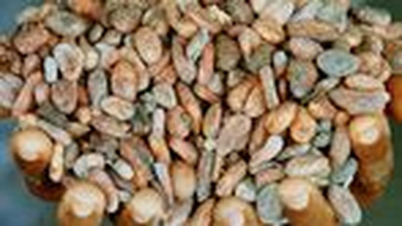 Kakaoanbau: Kinder schuften für Schokolade