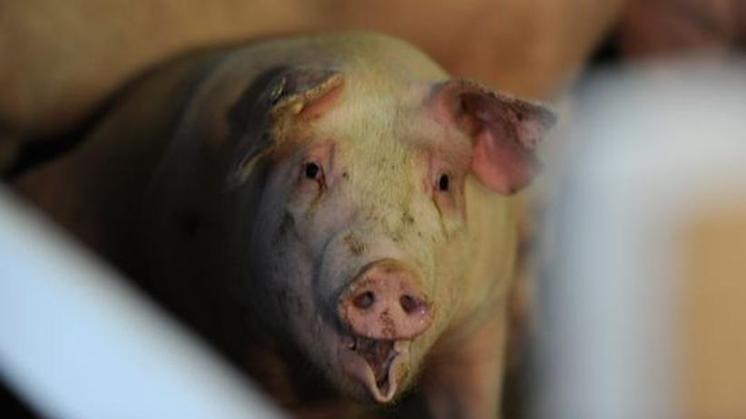 Dioxin im Tierfutter: Schwein auf einem Hof in Schleswig-Holstein, der nicht aufgrund des jüngsten Dioxin-Skandals schließen musste
