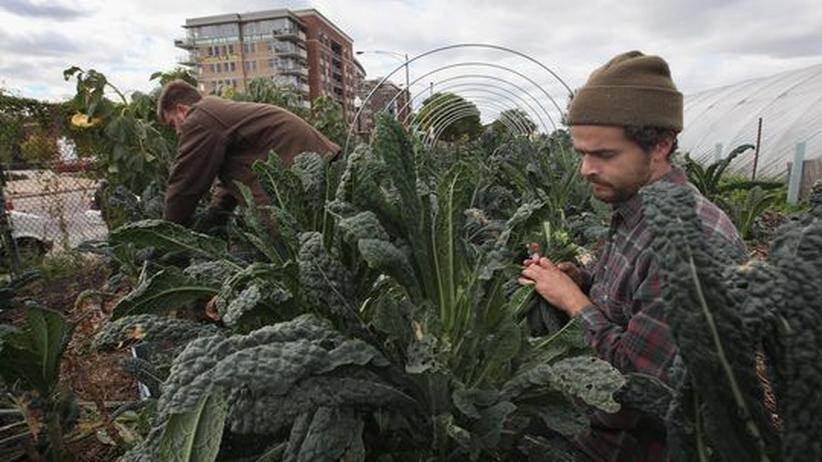 Urban Farming: Zwei Männer ernten Gemüse auf einem Grundstück in der Innenstadt von Chicago, Illinois.