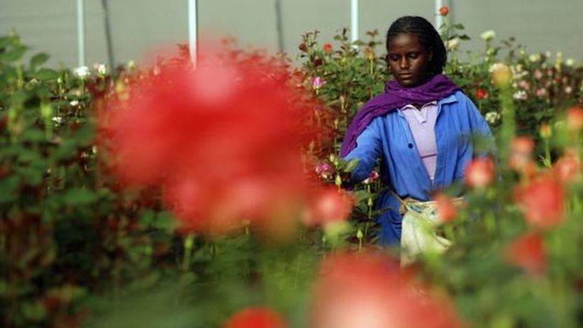 Blumenindustrie: Ausbeutung für den Valentinstag