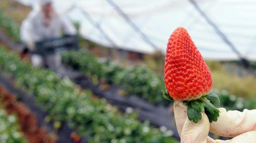 Obstanbau: Erdbeere aus Südspanien